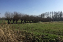 Pollarded Willows - common field separators