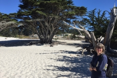 38. A Monterey Cypress at Carmel
