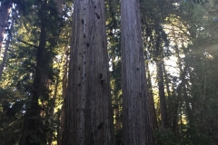 52. The Redwoods