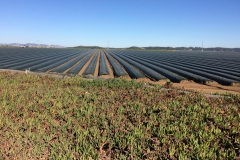 45a. Monterey Delta crops