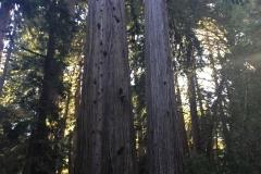 52. The Redwoods